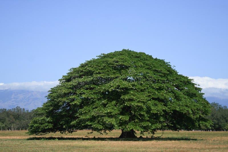 Árbol de Guanacaste fotografía de archivo