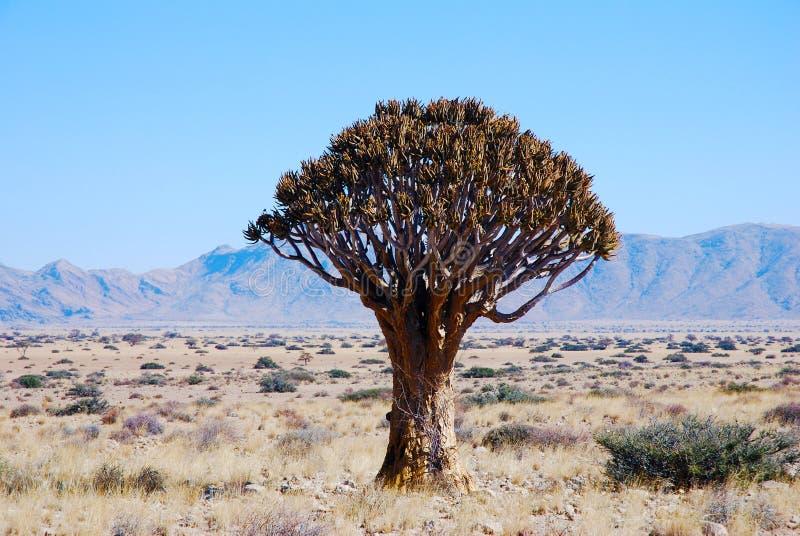 Árbol de hígado o kokerboom en Namibia imágenes de archivo libres de regalías