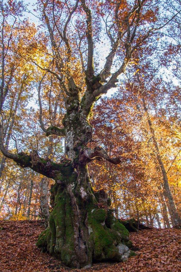 Árbol de haya con un tronco extraño imagenes de archivo