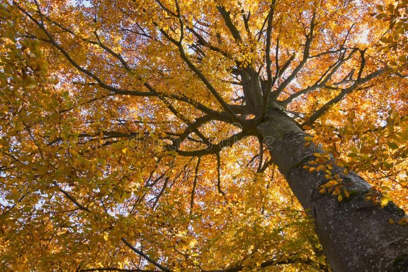 Árbol de haya en colores del otoño imagen de archivo libre de regalías