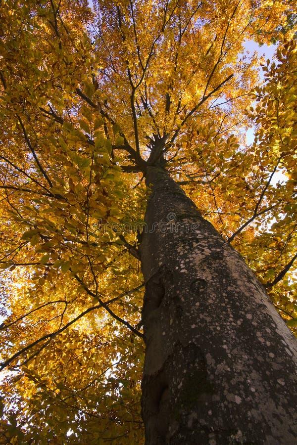 Árbol de haya en otoño imágenes de archivo libres de regalías