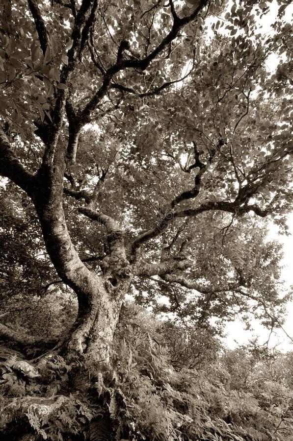Árbol de haya nudoso viejo en los jardines escarpados en Ridge Parkway azul foto de archivo