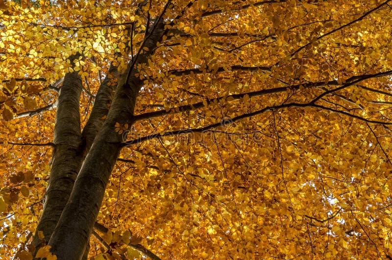 Árbol de haya viejo en luz del otoño imagen de archivo libre de regalías