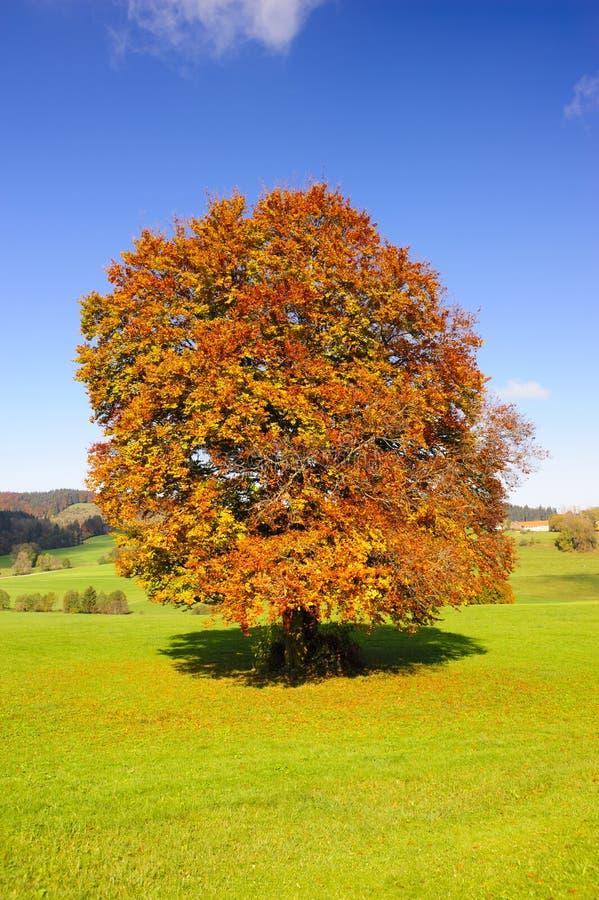 Árbol de haya viejo grande en el otoño imágenes de archivo libres de regalías