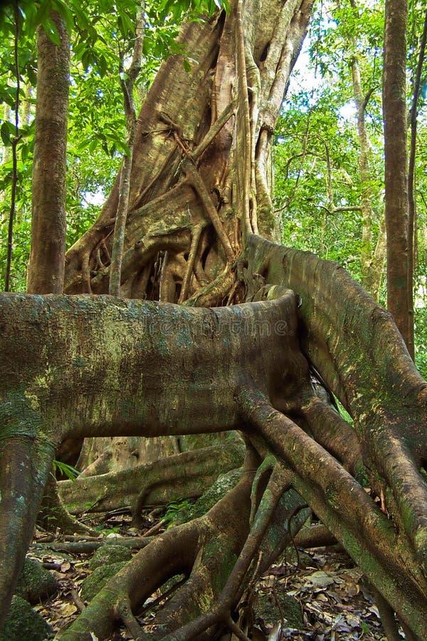 Árbol de higo foto de archivo libre de regalías