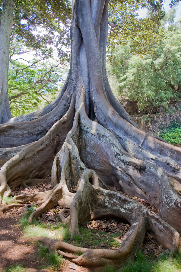 Árbol de higo de la bahía de Moreton 2 imágenes de archivo libres de regalías