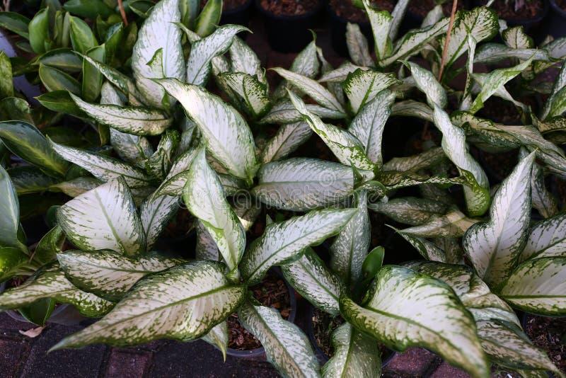 Rbol de hoja perenne chino de la planta del aglaonema for Arboles de hoja perenne en madrid