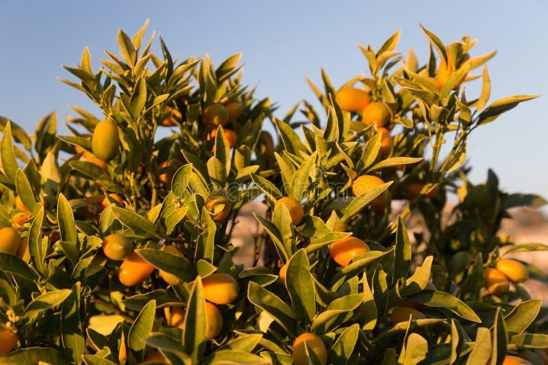 Árbol de kumquat imágenes de archivo libres de regalías