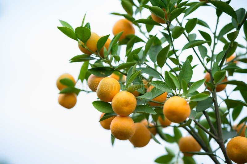 Árbol de kumquat Así como árbol del flor del melocotón, el kumquat es uno de 2 debe tener árboles en día de fiesta lunar vietnami imagen de archivo libre de regalías