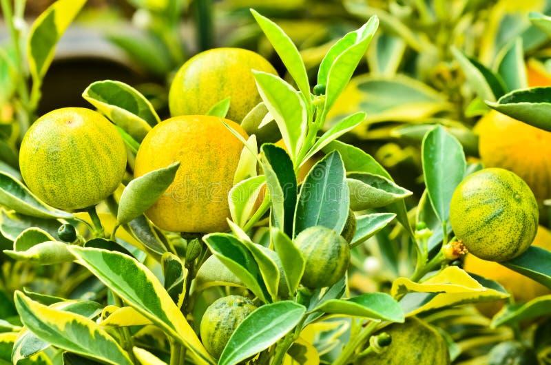 Árbol de kumquat con la fruta fotografía de archivo
