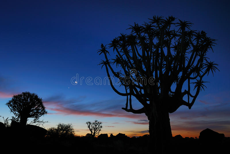 Árbol de la aljaba en Namibia imágenes de archivo libres de regalías