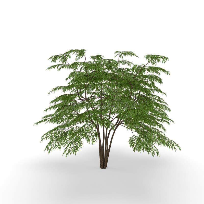 Árbol de la aralia Aislado en el fondo blanco illustra de la representación 3D stock de ilustración