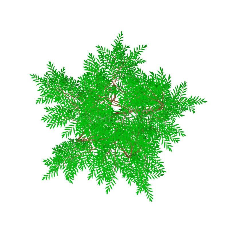 Árbol de la aralia Aislado en el fondo blanco Visión superior libre illustration