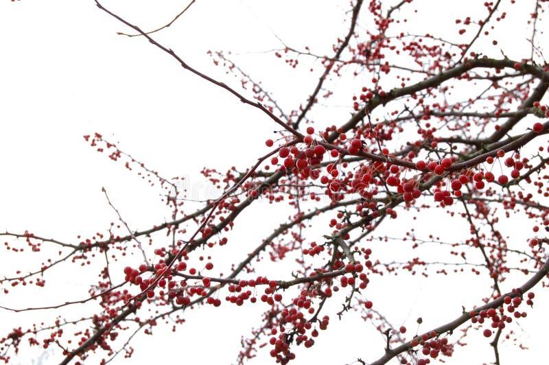 Árbol de la baya imagen de archivo libre de regalías
