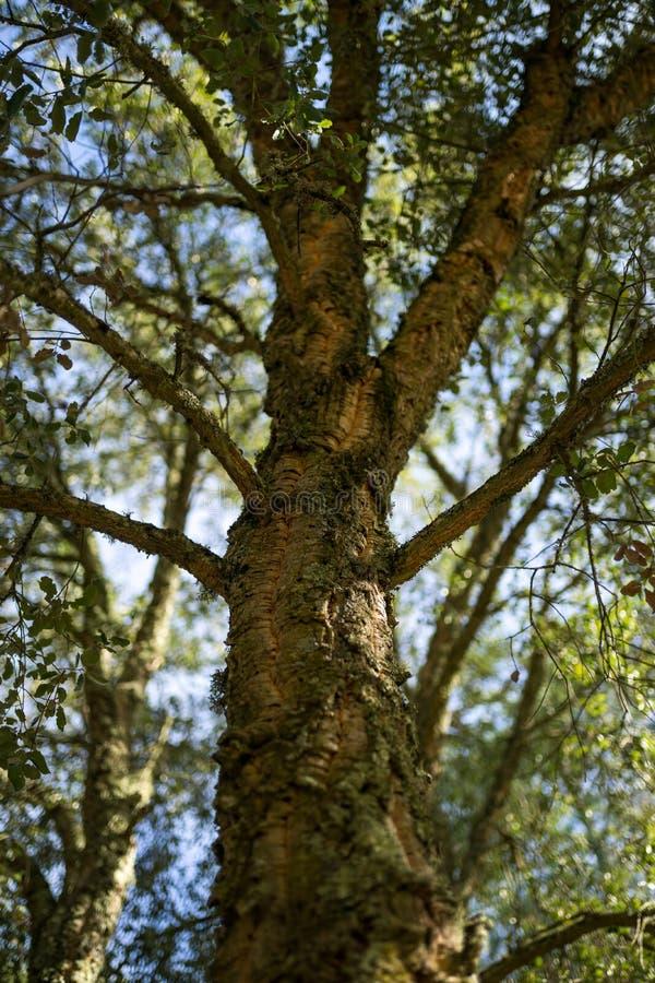 Árbol de la bellota de la corteza del roble de encina en un día soleado fotografía de archivo