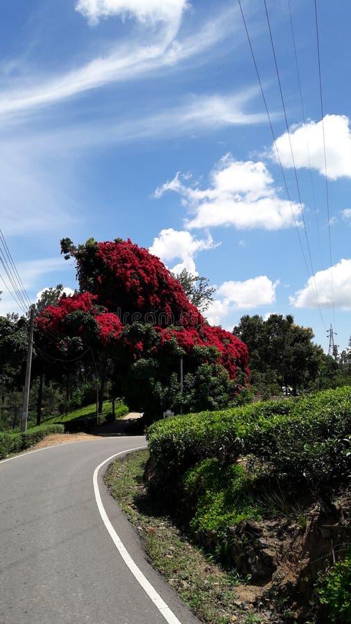Árbol de la buganvilla cerca del camino del etampitiya foto de archivo
