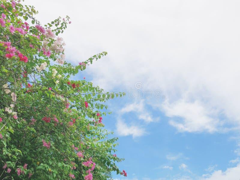 Árbol de la buganvilla con rosado y blanco flor-como las hojas de la primavera imagen de archivo