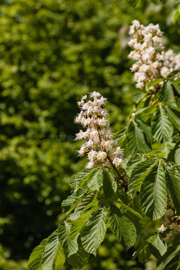 Árbol de la castaña de Indias f en la floración imágenes de archivo libres de regalías