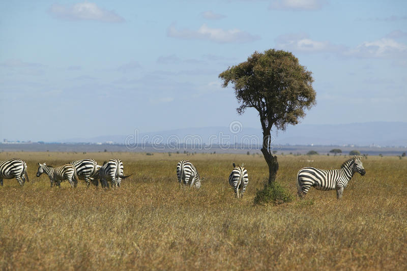 Árbol de la cebra y del acacia en el parque nacional de Nairobi, Nairobi, Kenia, África fotografía de archivo