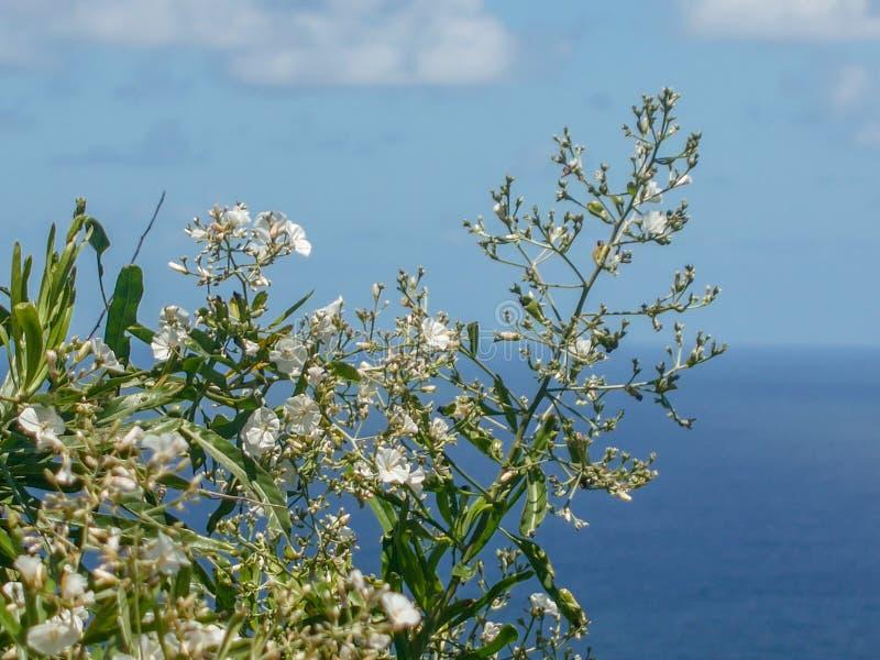 Árbol de la correhuela en frente del mar imagen de archivo