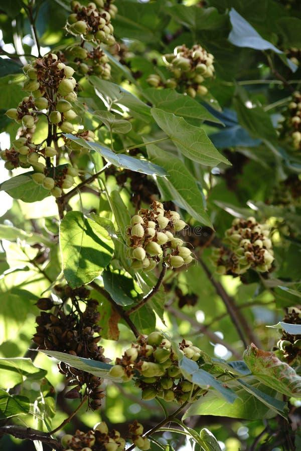 Árbol de la dedalera de las frutas imágenes de archivo libres de regalías