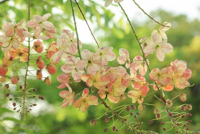 Árbol de la ducha de arco iris en naturaleza foto de archivo libre de regalías