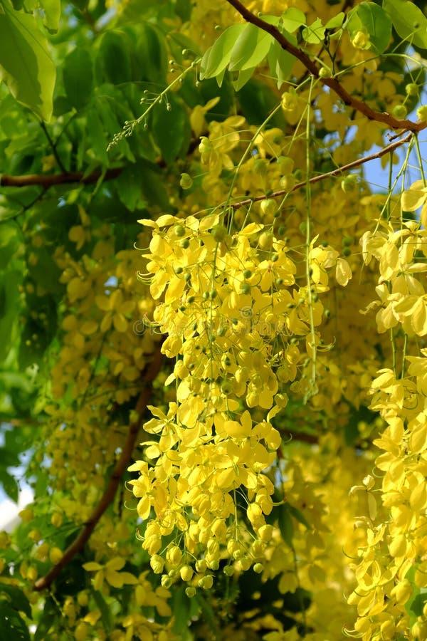 Árbol de la fístula de la casia, flor amarilla fotografía de archivo