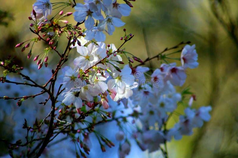 Árbol de la flor de cerezo que entra en la floración imagen de archivo libre de regalías