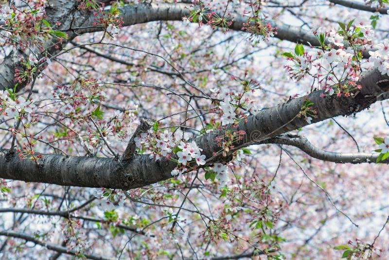 árbol de la flor de cerezo de Sakura en el parque Japón de Gongendo imagen de archivo