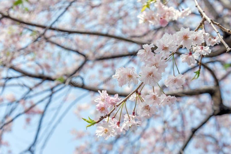 árbol de la flor de cerezo de Sakura en el parque Japón de Gongendo foto de archivo libre de regalías