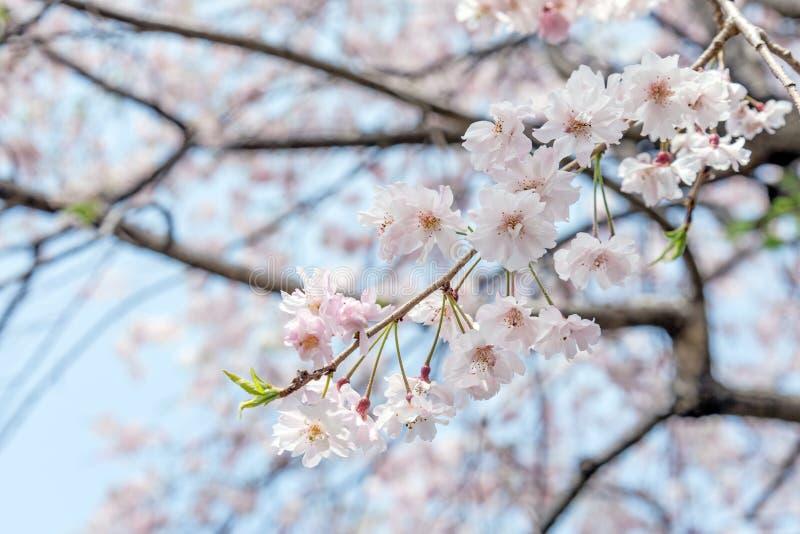 árbol de la flor de cerezo de Sakura en el parque Japón de Gongendo foto de archivo
