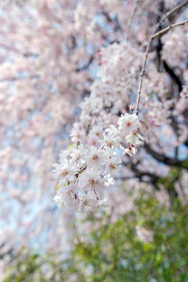 árbol de la flor de cerezo de Sakura en el parque Japón de Gongendo imagenes de archivo