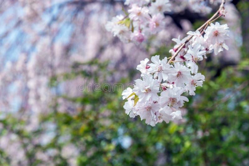 árbol de la flor de cerezo de Sakura en el parque Japón de Gongendo imágenes de archivo libres de regalías