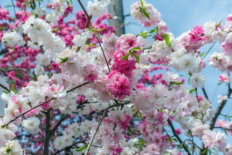 árbol de la flor de cerezo de Sakura en el parque Japón de Gongendo fotografía de archivo libre de regalías