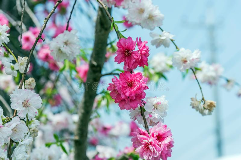 árbol de la flor de cerezo de Sakura en el parque Japón de Gongendo fotos de archivo