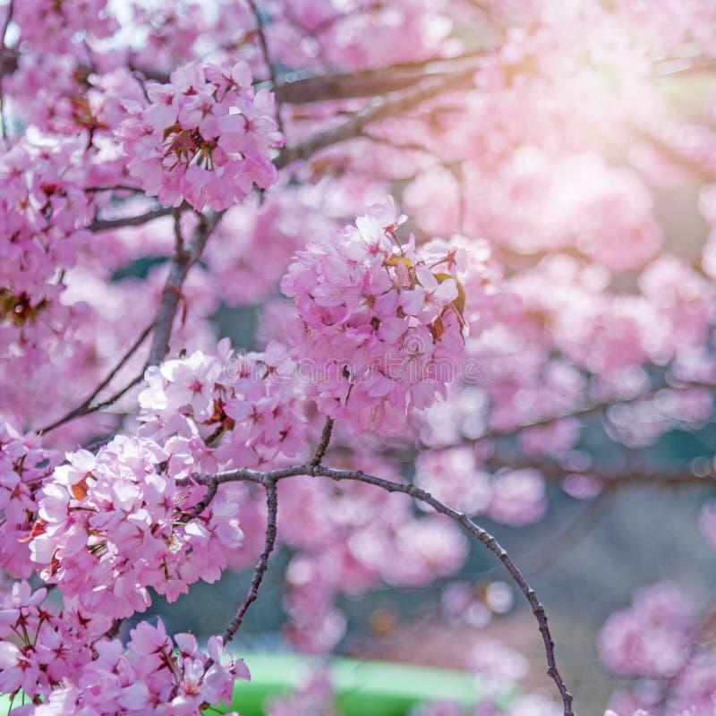 árbol de la flor de cerezo de Sakura en Japón con la luz del sol fotografía de archivo