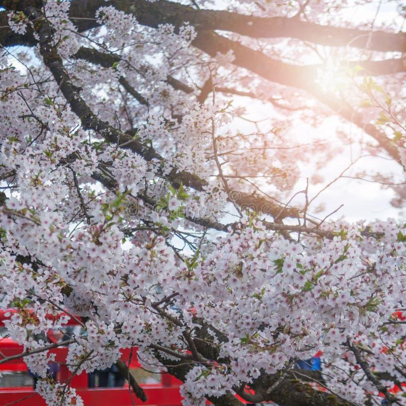 árbol de la flor de cerezo de Sakura en Japón con la luz del sol imagen de archivo