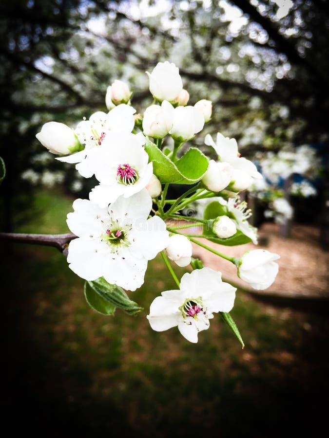 Árbol de la flor de cerezo de la primavera fotos de archivo libres de regalías