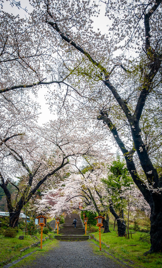 Árbol de la flor de cerezo en Japón imagen de archivo