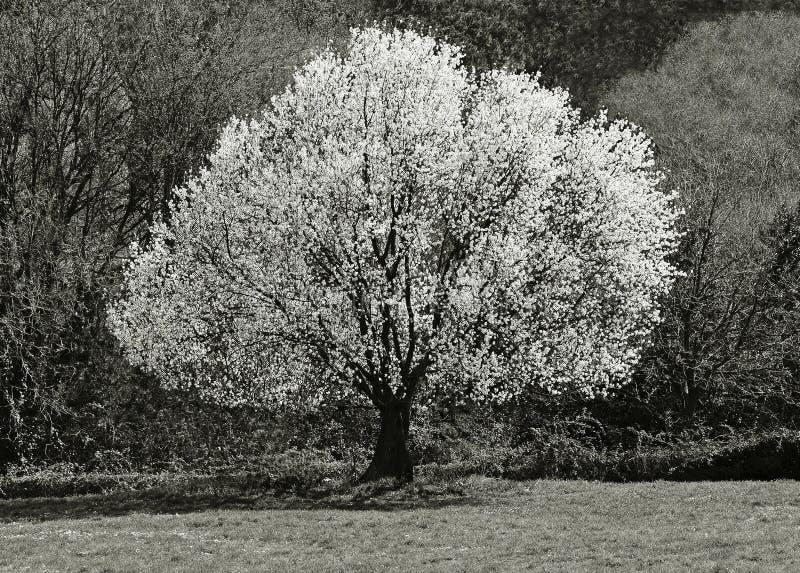 árbol de la flor en primavera imágenes de archivo libres de regalías