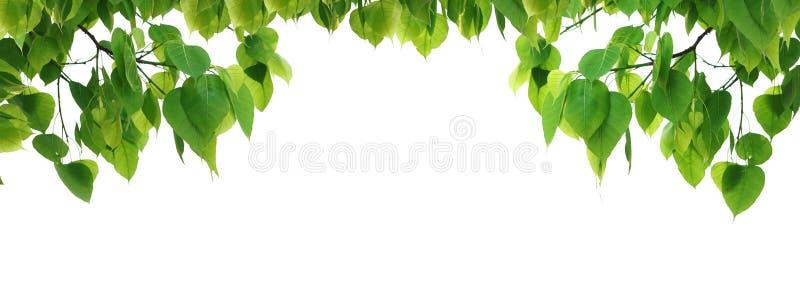 Árbol de la hoja del verde de Bodhi fotografía de archivo libre de regalías