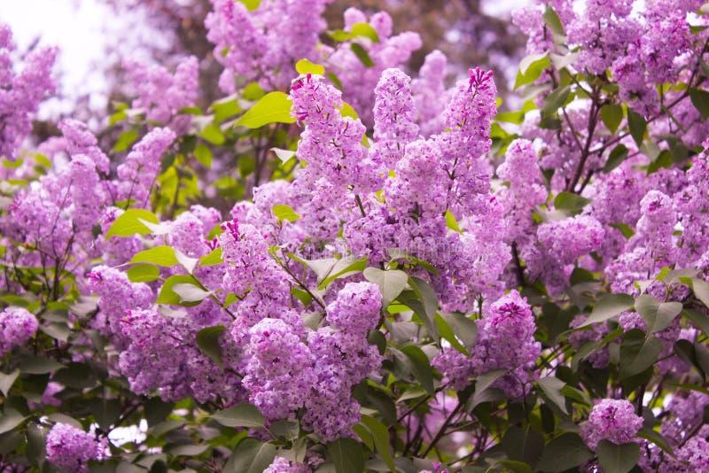 Árbol de la lila fotografía de archivo libre de regalías