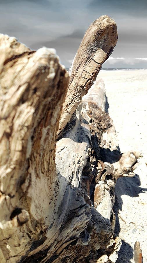 Árbol de la madera de deriva en la playa imágenes de archivo libres de regalías