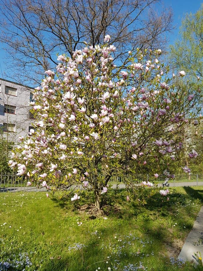 Árbol de la magnolia fotos de archivo libres de regalías