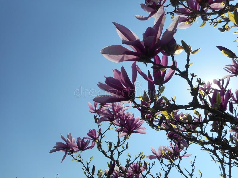 Árbol de la magnolia con el flor rosado foto de archivo