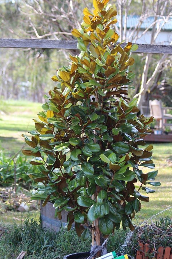 Árbol de la magnolia en mi jardín imagenes de archivo