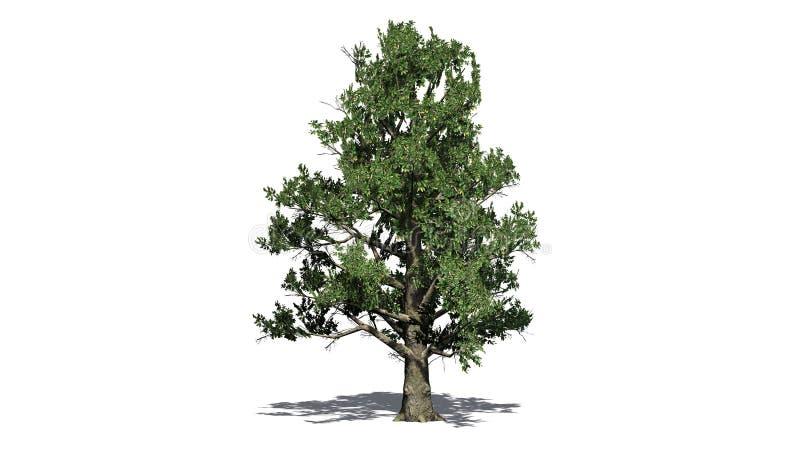 Árbol de la magnolia meridional stock de ilustración