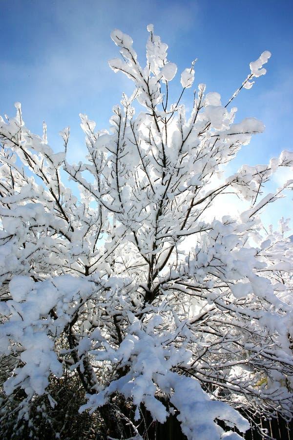 Árbol de la nieve foto de archivo libre de regalías