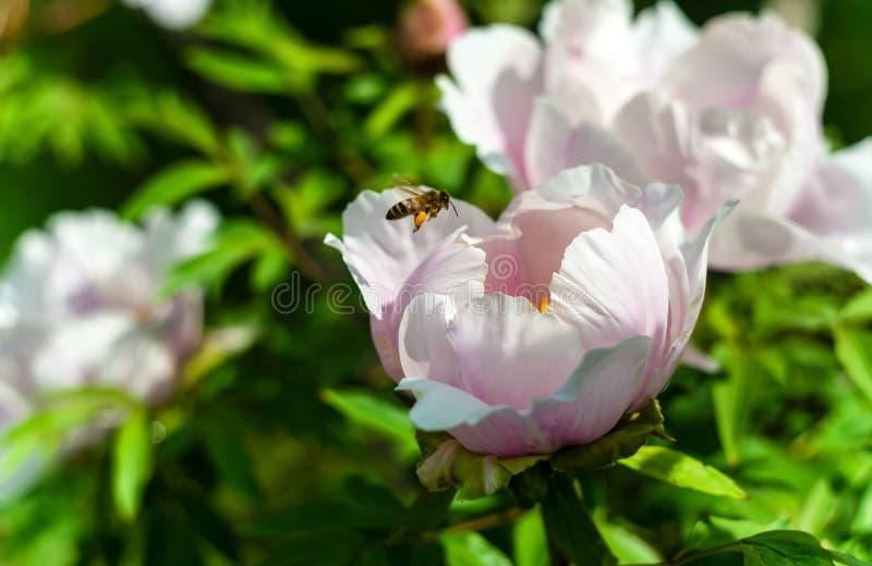 Árbol de la peonía y su flor en una luz del sol, con algunas abejas volando alrededor fotos de archivo libres de regalías