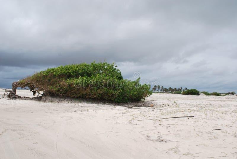 Árbol de la pereza en la playa fotografía de archivo libre de regalías